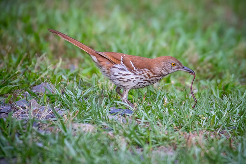 brownthrasher canon6d