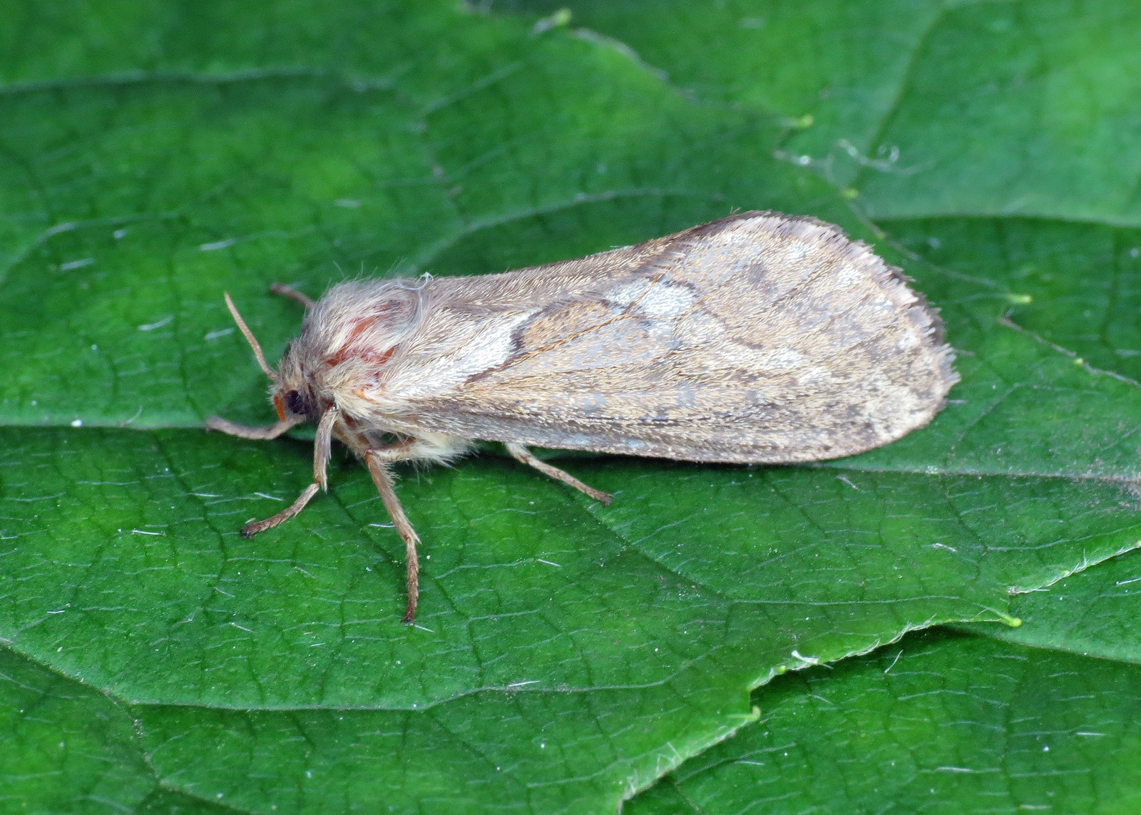 3.002 Common Swift - Hepialus lupulinus