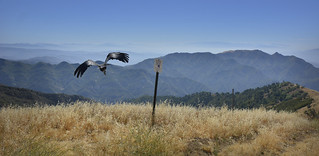 California Condor Release at Hopper Mountain NWR Near Los Padres National Forest   by USFWS Pacific Southwest Region