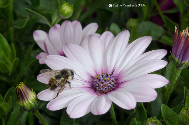 Bee My Daisy