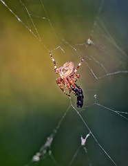 Hunting spider