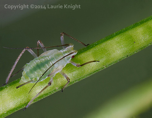 Aphid on weed seed head   by laurie.knight