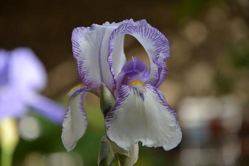 Nos Iris : floraisons 2012 - Page 3 32835233205_22f0afc1ab