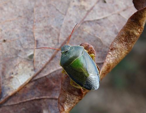 haughmondhill shropshire hemiptera heteroptera punaise insect rockwolf piezodoruslituratus gorseshieldbug pentatomidae