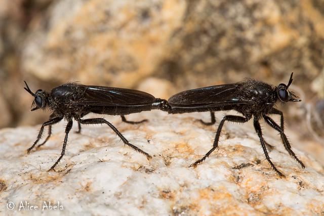 Ospriocerus brevis - Mating