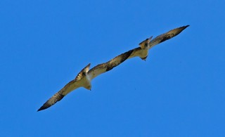 Togetherness .... Osprey style ...