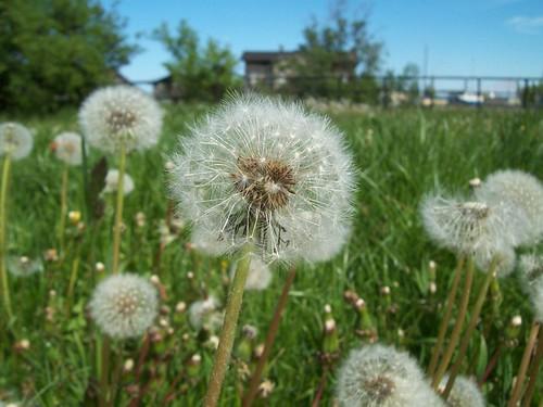 Dandelion pastures are returning!