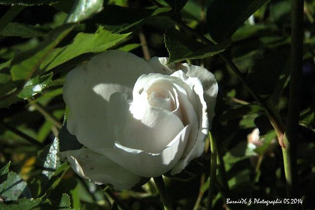 Rose  Blanche de Servavillle
