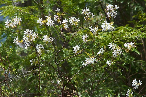 Bring Out Your Dead... Serviceberry is in Bloom | by Distant Hill Gardens
