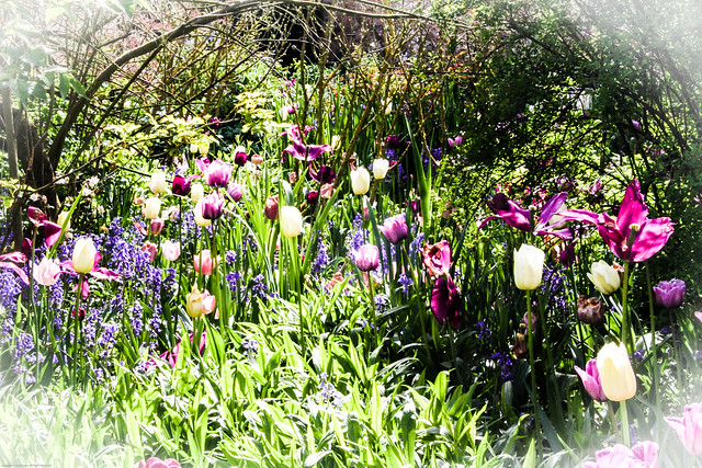 Tulips at Hidcote