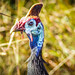 Prehistoric looking (guineafowl)
