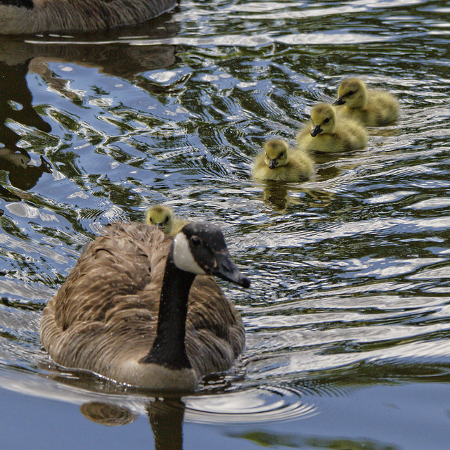 Mother Goose with her goslings.