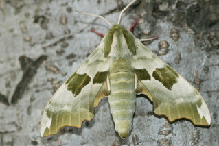 Lime Hawk-moth | by ressaure