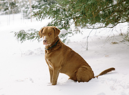 Chesapeake Bay Retriever -12