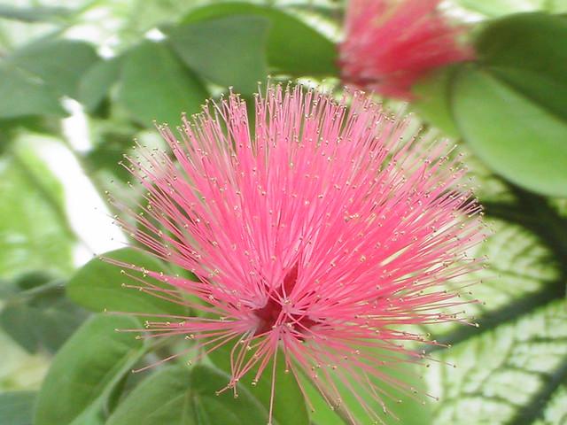 Pink Spike by kizard