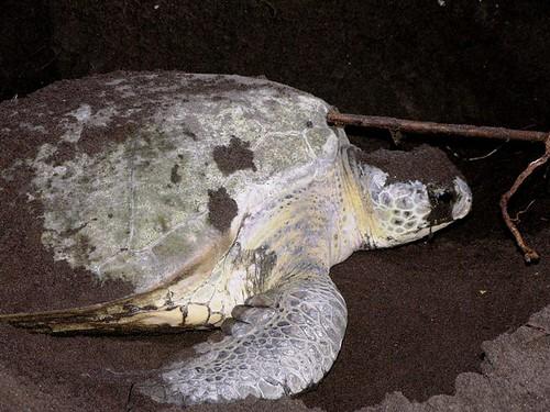 Tartaruga a cobrir os ovos com a areia II