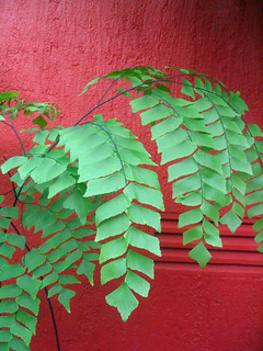 Maidenhair at Montreal Botanical Garden   by pauly...formerly amiko