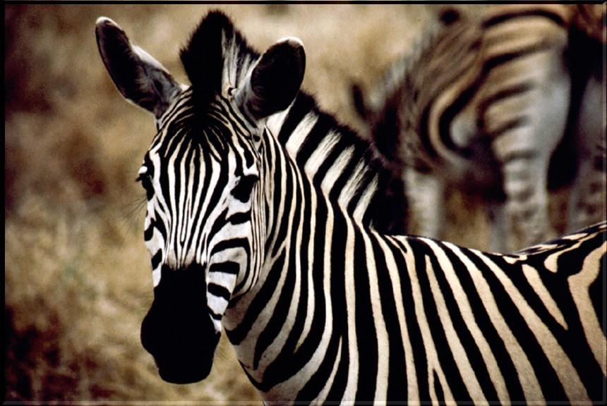SA 00 Zebra al Kruger Park