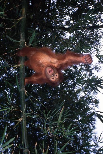 Orangutan baby 009