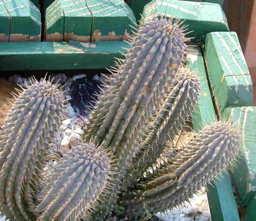 Hoodia Gordonii Upright Growing Succulent From Botswana Flickr