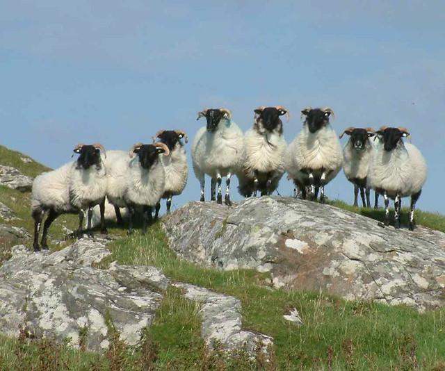 Conamara Sheep