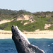 Flickr photo 'Whale at Port Macquarie' by: iansand.