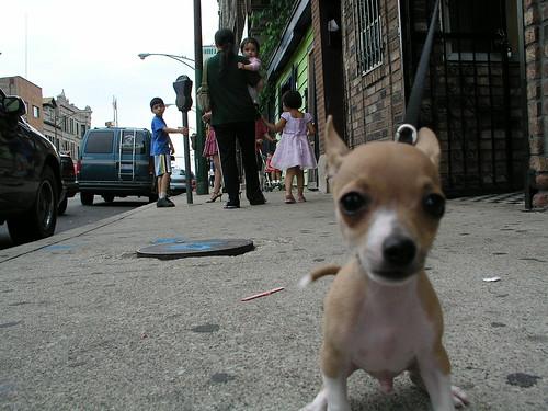 Chihuahua in Pilsen | by eddieq