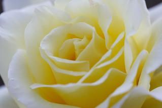 Rose | by yamaken