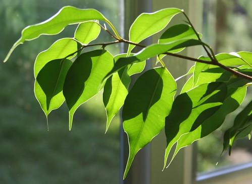 Ficus 2   by ndrwfgg