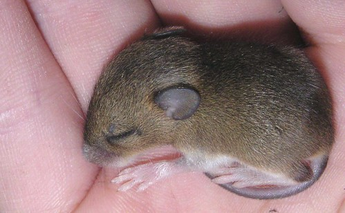 ssttt! little baby-mouse, sleeping on my hand | by e³°°°