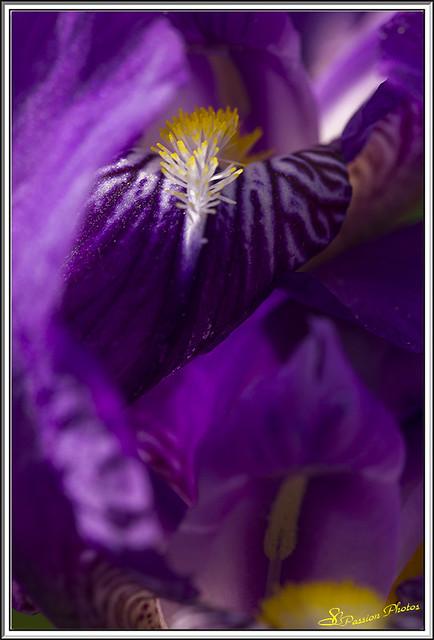 Coeur d'Iris 03