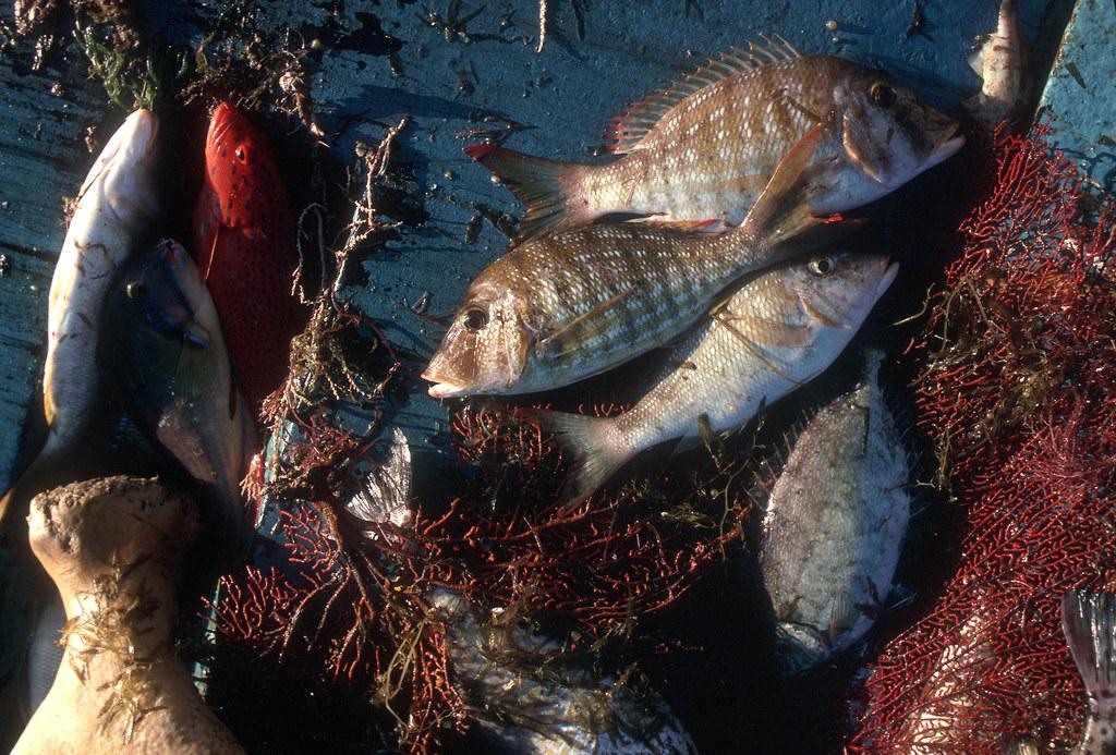 汞汙染會殘留在魚體內、循著食物鏈不斷累積。圖片來源:Marine Research(CC BY 3.0)