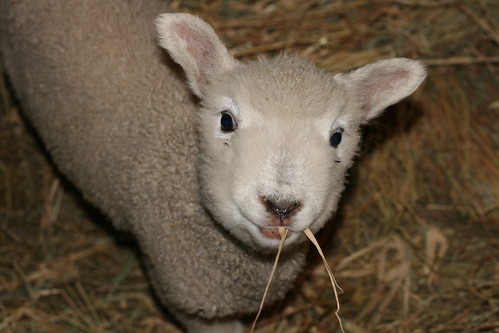Lamb   by Virtualdistortion