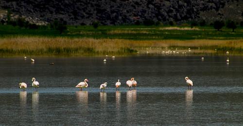 Flamingos in Yarışlı Lake | by ErdenizS