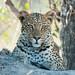 Leopard resting on termite mound by David Schenfeld