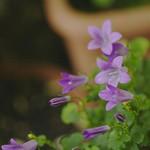 Campanula Bell Flower(カンパニュラ ベルフラワー)