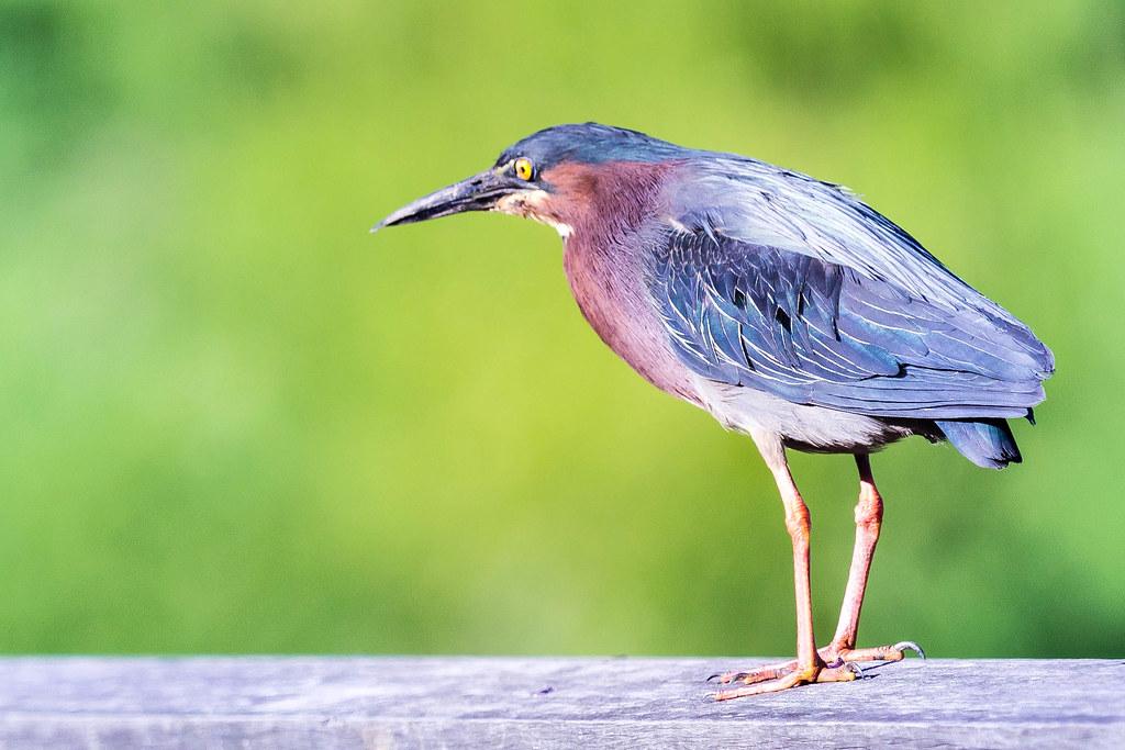 Green Heron #WildlifeWednesday