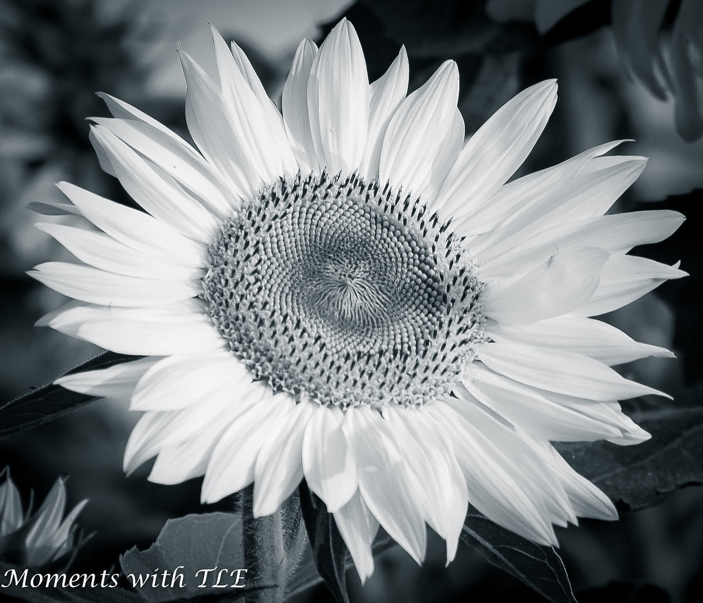 Sunflower b&w   goscouting4   Flickr