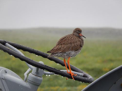 IJsland - Snaefellsnes - vogel op traktor bij Rif