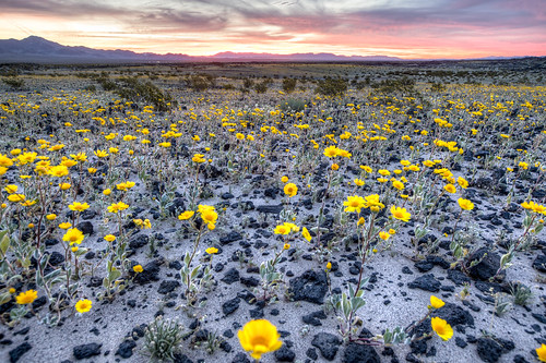 photo of wildflowers at Amboy crater