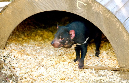 Tasmanian Devil_6 | by guppiecat