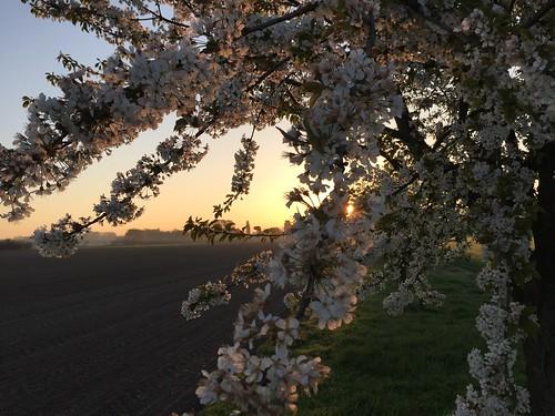 morning matin fleur flower blossom cherrytree verger cerisier drusenheim alsace leverdesoleil sunrise nature