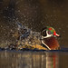 Glowing in the dark- Wood duck style by Chantal Jacques Photography