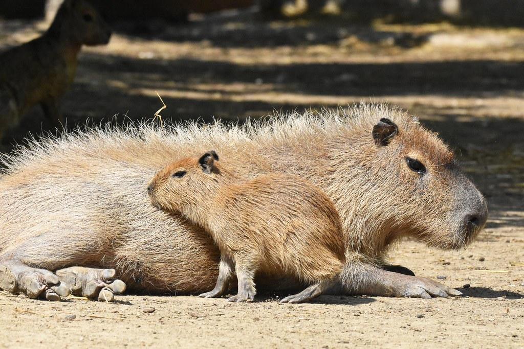 kapibara (Hydrochaeris hydrochaeris / Capybara / Wasserschwein)