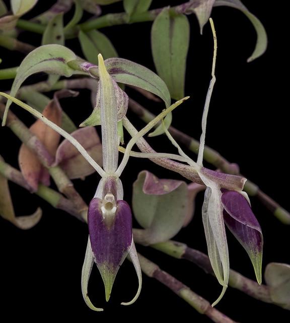 Epidendrum escobarianum