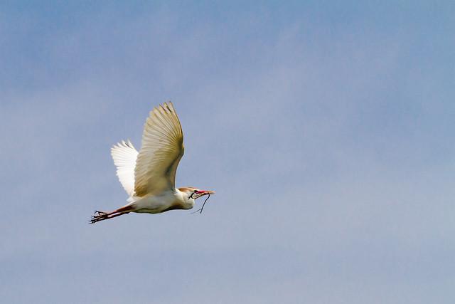 Cattle Egret ( bulbucus ibis)