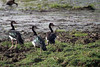 Spur-winged geese in Zakouma National Park in Chad by inyathi