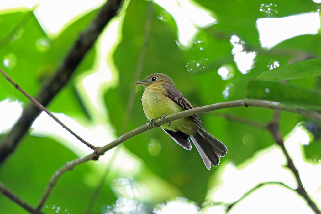 Whiskered Flycatcher, REGUA, Brazil