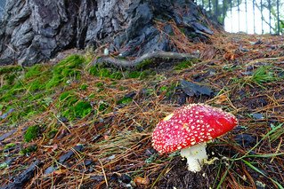 140327-DSC01124 Fly Agaric Fungi Lleura Blue Mountains NSW Australia.jpg | by rodtuk