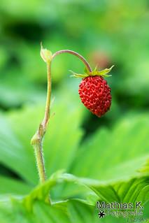 Erdbeere | Projekt 365 | Tag 152